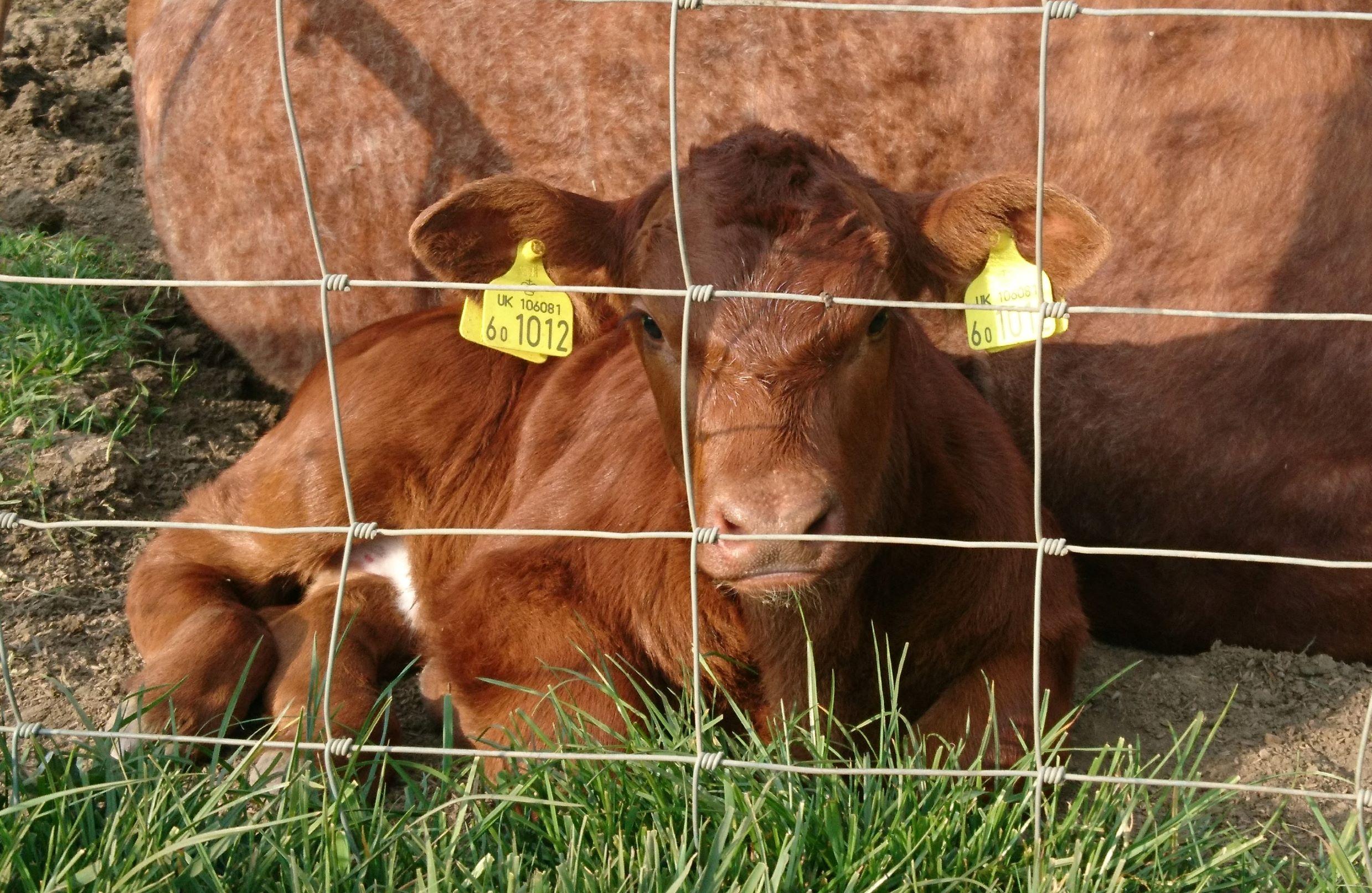 Cute Calves